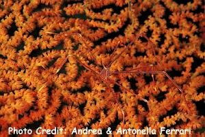 Chirostylusdolichopus Photo Credit:Andrea & Antonella Ferrari