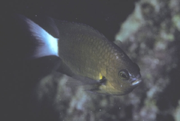 Chromis bami Photo Credit:John Randall