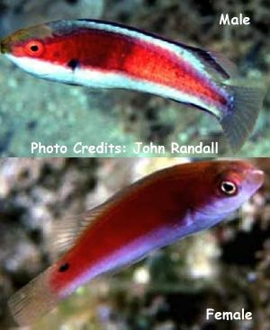 Katherine's/Black-striped/Greenback Fairy Wrasse (Cir