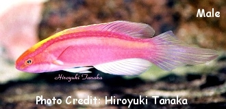 Rose-band/Pink-banded Fairy Wrasse (Cirrhilabrus roseafascia) Photo Credit:Hiroyuki Tanaka