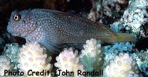 Red-streaked Blenny (Cirripectes stigmaticus) Photo Credit:John Randall