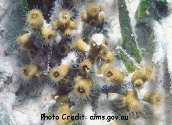 Cladocora arbuscula Photo Credit:aims.gov.au