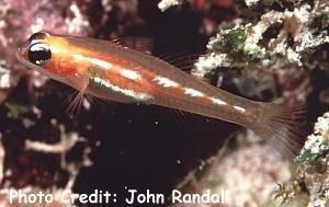 Coryphopterus personatus Photo Credit:John Randall