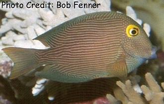 Ctenochaetus strigosus Photo Credit:Bob Fenner