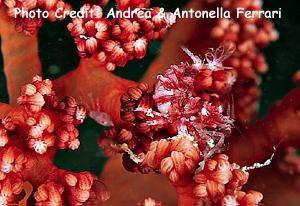 Dasycaris ceratops Photo Credit:Andrea & Antonella Ferrari