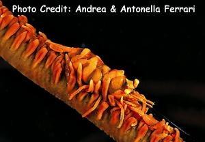Dasycaris zanzibarica Photo Credit:Andrea & Antonella Ferrari