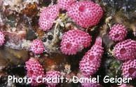 Didemnum cuculliferum Photo Credit:Daniel Geiger