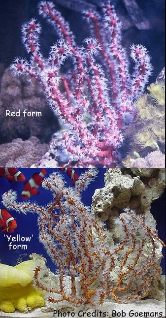Orange/Red/Yellow Tree Gorgonian (Diodogorgia nodulifera) Photo Credit:Bob Goemans