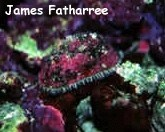 Rough/Keyhole Limpet (Diodora inaequalis) Photo Credit:James Fatherree