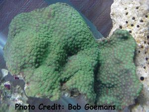 Diploastrea helipora Photo Credit:Bob Goemans