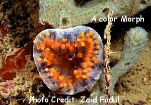 Mushroom Coral (Discosoma sanctithomae) Photo Credit:Zaid Fadul
