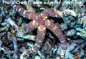 Echinaster callosus Photo Credit:edge-of-reef.com