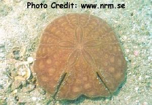 Echinodiscus auritus Photo Credit:nrm.se