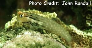 Yaeyama Blenny (Ecsenius yaeyamaensis) Photo Credit:John Randall