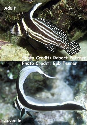 Equetus punctatus Photo Credit:Bob Fenner & Robert Patzner