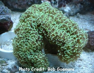Hammer/Anchor Coral (Euphyllia ancora) Photo Credit:Bob Goemans