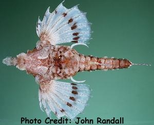 Hawaiian Sea Moth (Eurypegasus papilio) Photo Credit:John Randall