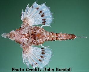 Eurypegasus papilio Photo Credit:John Randall