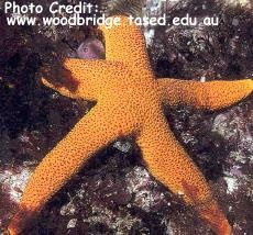 Fromia polypora Photo Credit:woodbridge.tased.edu.au
