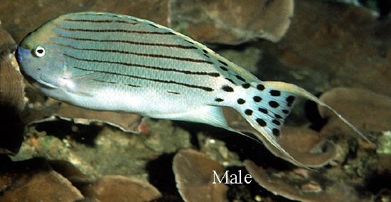 ... : Genicanthus takeuchii (Spotted Angelfish, Takeuchis Angelfish