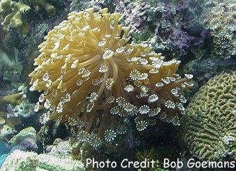 Flowerpot Coral (Goniopora lobata) Photo Credit:Bob Goemans