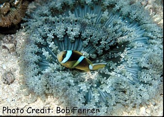 Glasspearl/Sand/Beaded/Aurora Anemone (Heteractis aurora) Photo Credit:Bob Fenner