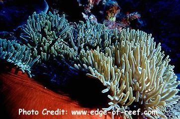 Magnifica/Ritteri Anemone or Purple Base Anemone (Heteractis magnifica) Photo Credit:edge-of-reef.com