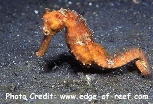 Hippocampus spinosissimus Photo Credit:edge-of-reef.com