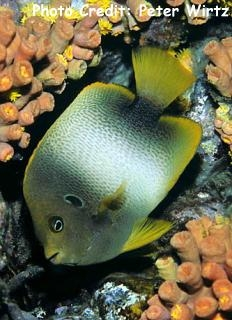 West Africa/Guinean Angelfish (Holacanthus africanus) Photo Credit:Peter Wirtz