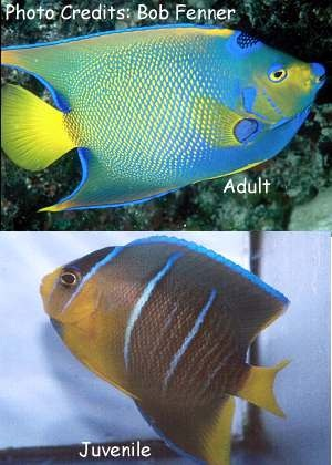 Queen Angelfish (Holacanthus ciliaris) Photo Credit:Bob Fenner