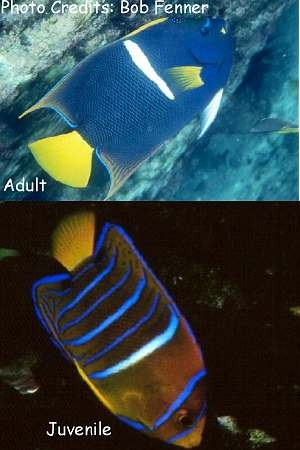 King Angelfish, Passer Angelfish, Whitebanded Angelfish (Holacanthus passer) Photo Credit:Bob Fenner