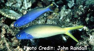 Blueheaded Tilefish (Hoplolatilus starcki) Photo Credit:John Randall