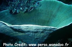 Paper/Scroll Sponge (Ianthella basta) Photo Credit:perso.wanadoo.fr