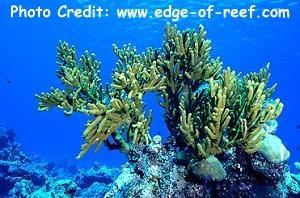Isis hippuris Photo Credit:edge-of-reef.com