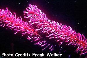 Junceella cf. rubra Photo Credit:Frank Walker