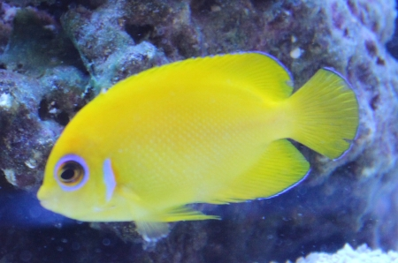 Lemonpeel Angelfish (Centropyge flavissima  ) Photo Credit:Bob Goemans