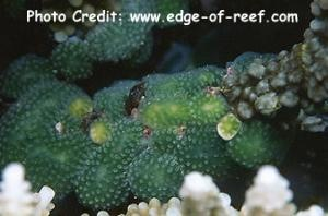 Lissoclinum bistratum Photo Credit:edge-of-reef.com
