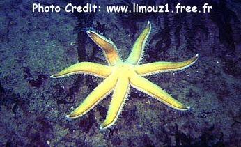 Luidia ciliaris Photo Credit:limouz1.free.fr