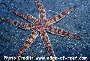 Seven Rayed Starfish (Luidia maculata) Photo Credit:edge-of-reef.com
