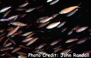 Waite's/Magenta Anthias (Luzonichthys waitei) Photo Credit:John Randall