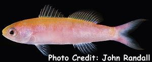 Whitley's Slender Anthias (Luzonichthys whitleyi) Photo Credit:John Randall