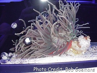 Long Tentacle/Corkscrew Anemone (Macrodactyla doreensis) Photo Credit:Bob Goemans