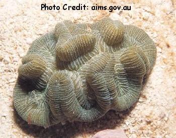 Manicina areolata Photo Credit:aims.gov.au