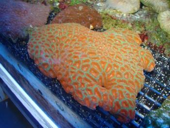 Micromussa amakusensis Photo Credit:Bob Goemans