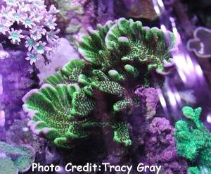 Velvet Stone (Montipora spongodes) Photo Credit:Tracy Gray