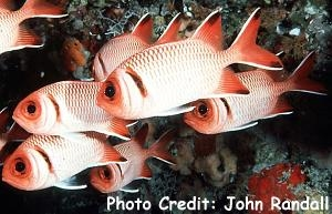 Blacklip/Finspot Soldierfish (Myripristis botche) Photo Credit:John Randall