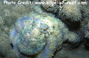 Abdopus aculeatus Photo Credit:edge-of-reef.com