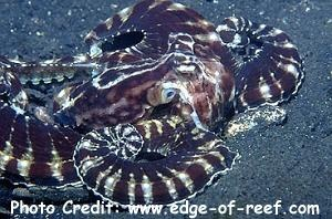 Octopus sp. 2 Photo Credit:edge-of-reef.com