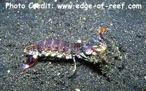 Odontodactyluslatirostris Photo Credit:edge-of-reef.com