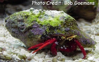 Scarlet Leg/Red Legged/Scarlet Reef Hermit (Paguristes cadenati) Photo Credit:Bob Goemans